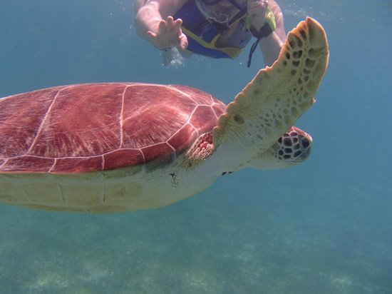 Grand Bahia Principe Tulum:                   Swimming wit sea turtles at Akumal Beach