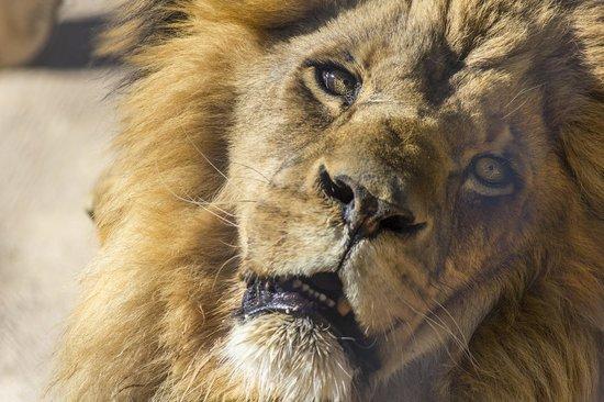 Hanging out foto di lion habitat ranch henderson tripadvisor