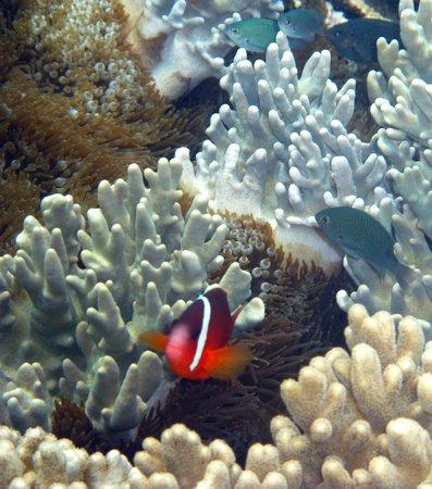 Likuliku Lagoon Resort:                   Debajo de las cabañas....peces payaso y corales