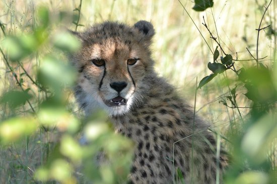 Chitwa Chitwa Private Game Reserve:                   Cheetah cub