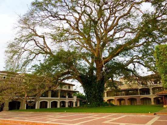 JW Marriott Panama Golf & Beach Resort:                   One of the most amazing trees I've ever seen!