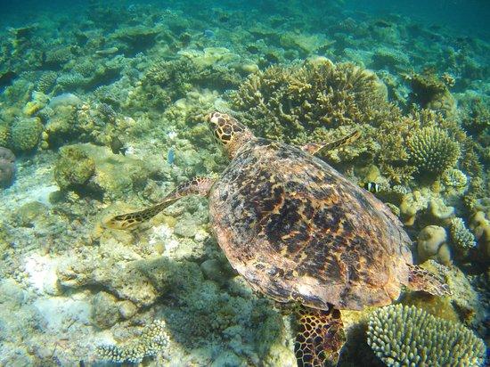 Eriyadu Island Resort:                   Очень общительная черепашка
