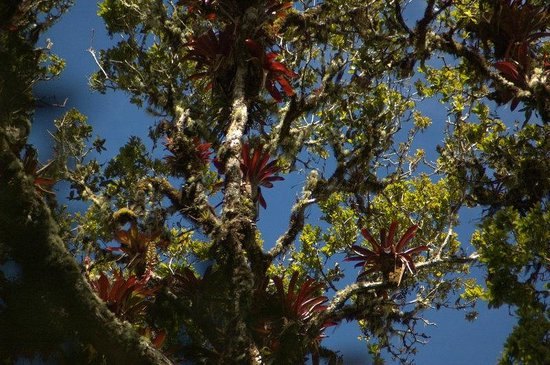 Paraiso Quetzal Lodge: Bromeliads on the Los Gigantes trail