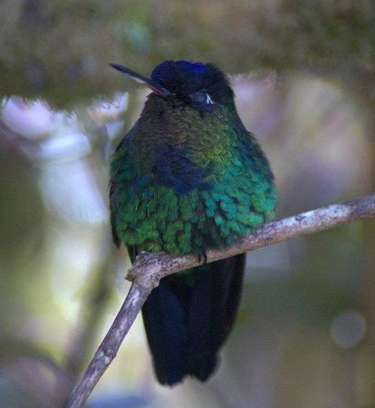 Paraiso Quetzal Lodge: Fiery Throated Hummingbird
