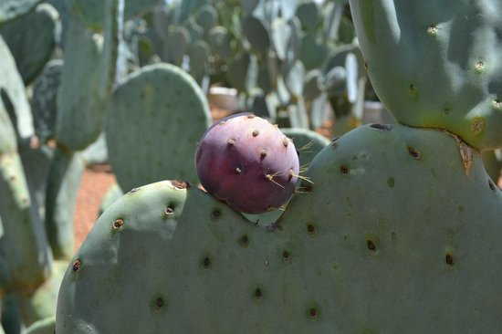 Babel Restaurant: Prickly Pear