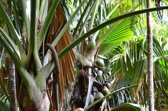Isla de Praslin, Seychelles: Male and Female Coco de Mer Palms