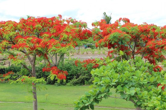 Sofitel Fiji Resort & Spa:                   Fiji Christmas Tree in Blossom (Vaya Vaya) in Sofitel Gardens