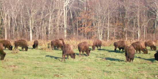 Brooklyn, CT:                   Over 100 buffalo on site
