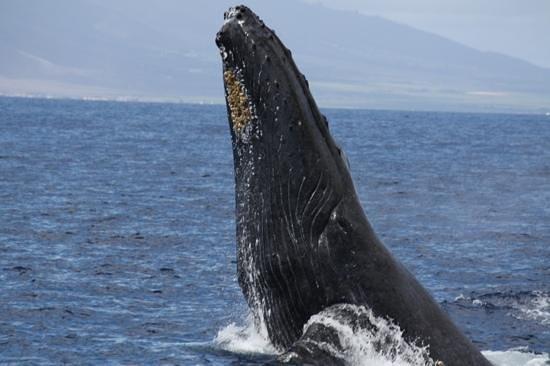 Kai Kanani Sailing Charters:                   Mamma whale breaching...2nd of four times!