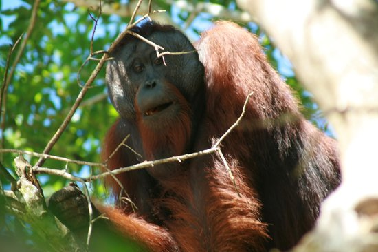 Osman's Homestay:                   Most awesome orangutan ever