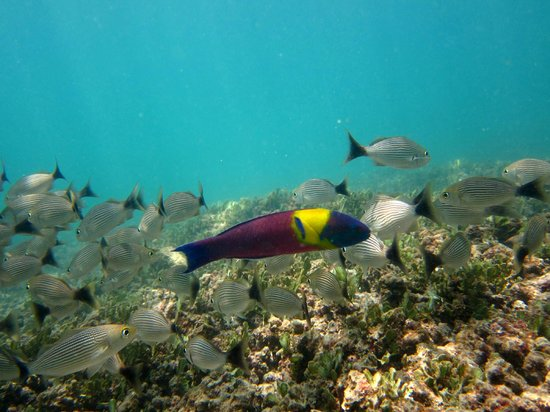 Fish seen while snorkeling picture of province of for Fishing guanacaste costa rica