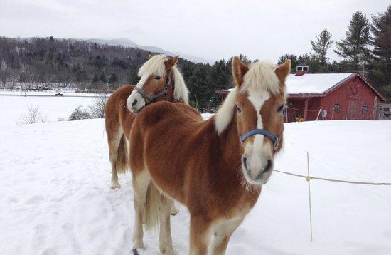 Yellow Farmhouse Inn:                   Halflinger Horses, Ule and Bella