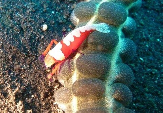 Bastianos Lembeh Diving Resort:                                     Garnelle auf der Seegurke