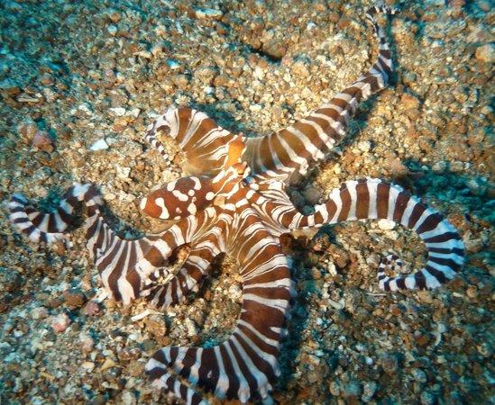 Bastianos Lembeh Diving Resort:                                     Octopus beim Tauchen