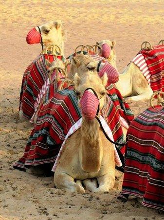 منتجع المها الصحراوي:                                     Camel ride                                  