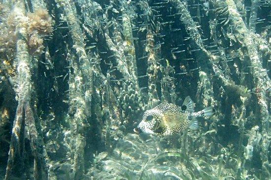 Hurricane Hole: Puffer fish, Princess Bay