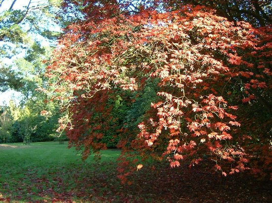 Sheffield Park and Garden:                   Maples
