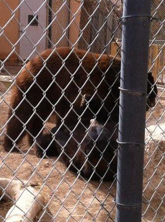 Alameda Park Zoo:                   the playful bears