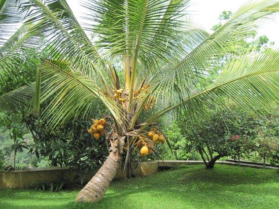 Baramba House: coconuts!