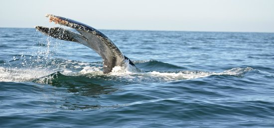 male whale picture of ocean friendly whale watching tours puerto