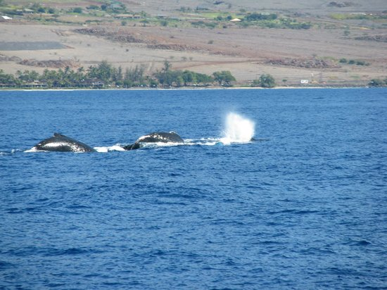 Hawaii Ocean Project:                   Whales off Maui shore