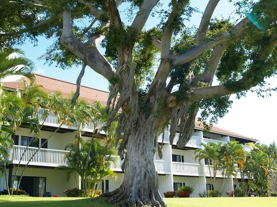 Kiahuna Plantation Resort:                   Tree on grounds
