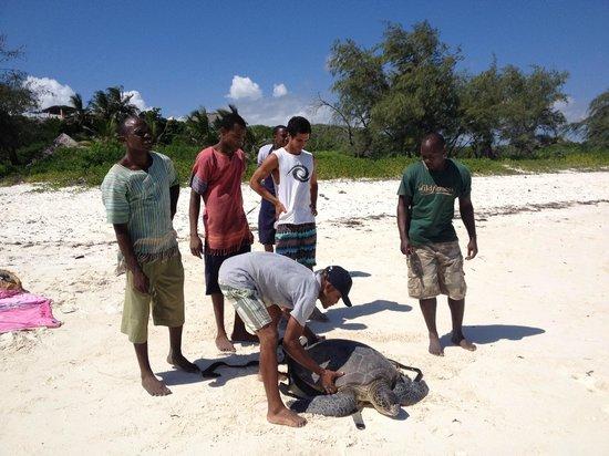 Watamu Turtle Watch:                                     Releasing the turtles