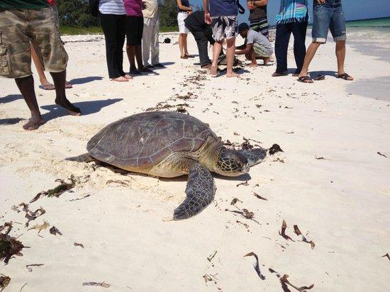 Watamu Turtle Watch:                                     On the way back to the ocean
