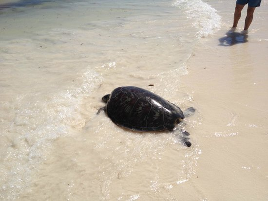 Watamu Turtle Watch:                                     On her way home