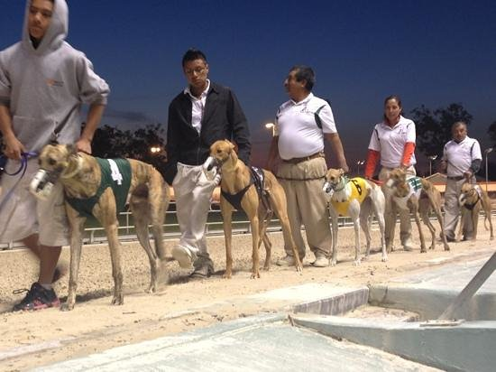 Naples Fort Myers Greyhound Track:                   lined up before the race