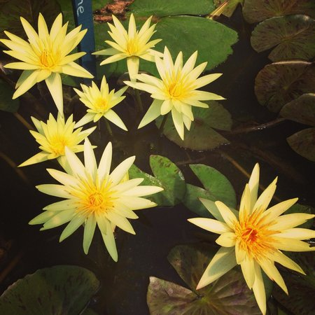 Yellow Lotus Picture Of Blue Lotus Water Garden Yarra Junction