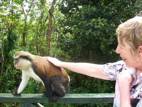 Mount Cinnamon Resort & Beach Club:                   Meeting the Monkeys at the rain forest
