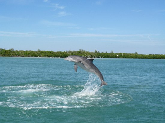 Englewood, Флорида:                   Dolphin jumping at the tip of Stump Pass State Park
