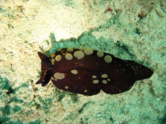 Chindonan Dive Resort: Nudibranch at house reef