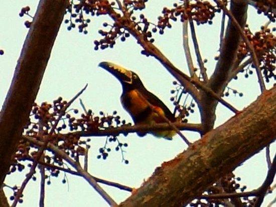 San Simian Eco Lodge:                   Toucan