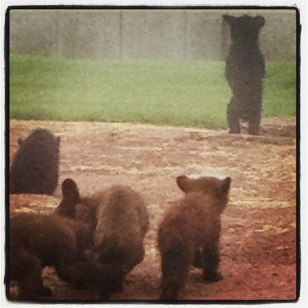 Bear Country USA:                   Playtime!