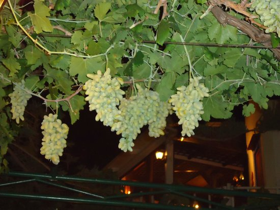 Petrino Garden:                   Grapes