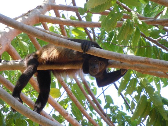 Los Altos de Eros:                   Howler monkeys are around the property and surrounding area