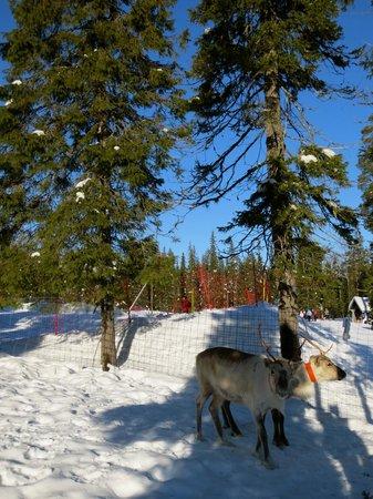 Hotel Iso-Syote: reindeer by Snowland