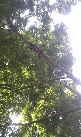 Milarepa:                   Howler monkeys above our bungalow