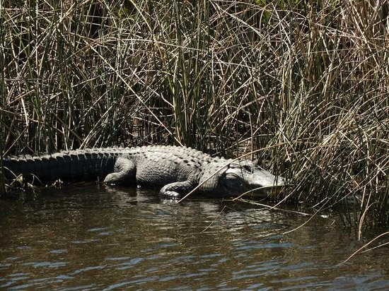 Peace River Boat Tours:                   Alligator