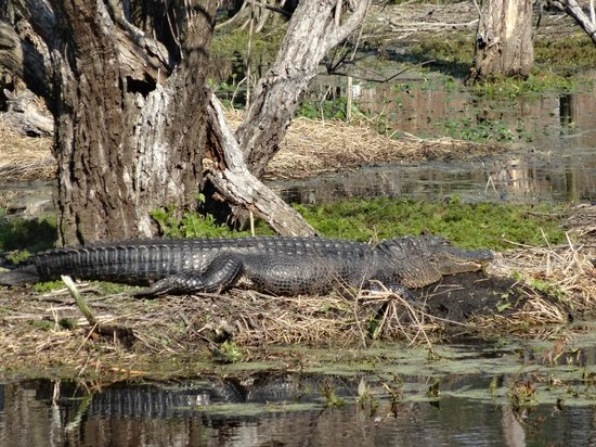 Cypress Wetlands:                   Alligator in the wetlands