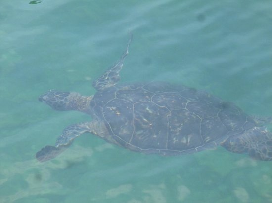 Hilton Waikoloa Village:                   sea turtle in the salt water lagoon