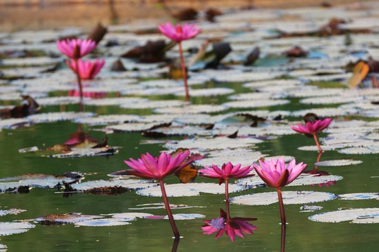 Le Meridien Angkor: Water lilies in hotel garden