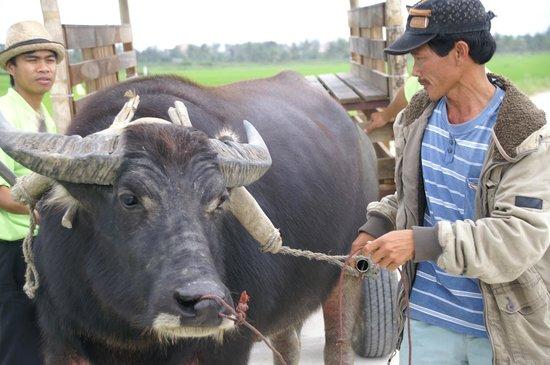 Hoi An Chic Hotel:                                     mit Wasserbüffel unterwegs