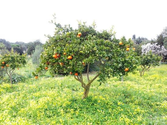 Son Amoixa Vell :                   Orangenbaum