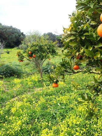 Son Amoixa Vell :                   Garten mit Orangenbäumen