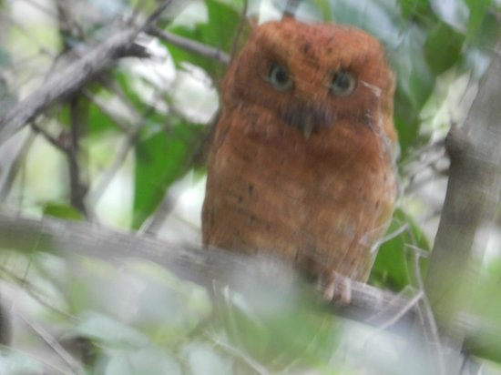 Arabuko-Sokoke Forest: Sokoke Scops Owl in the forest