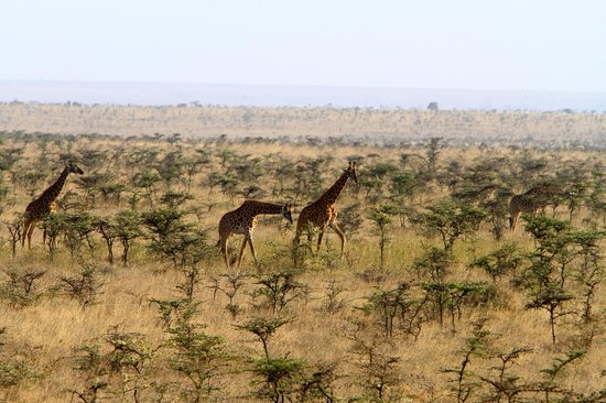 Ole Sereni:                   Giraffe wandering past our window