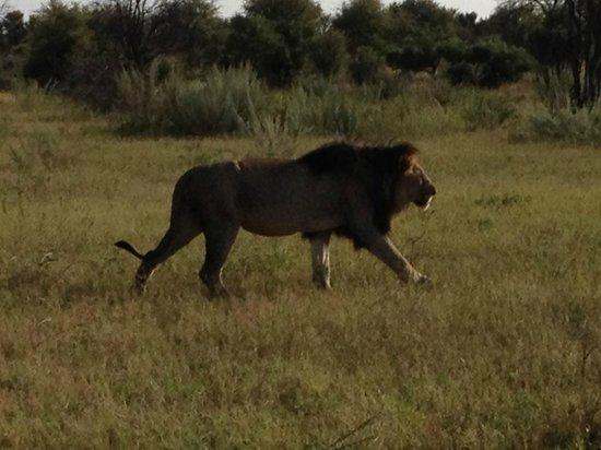 Morukuru Family Madikwe:                                     Big male